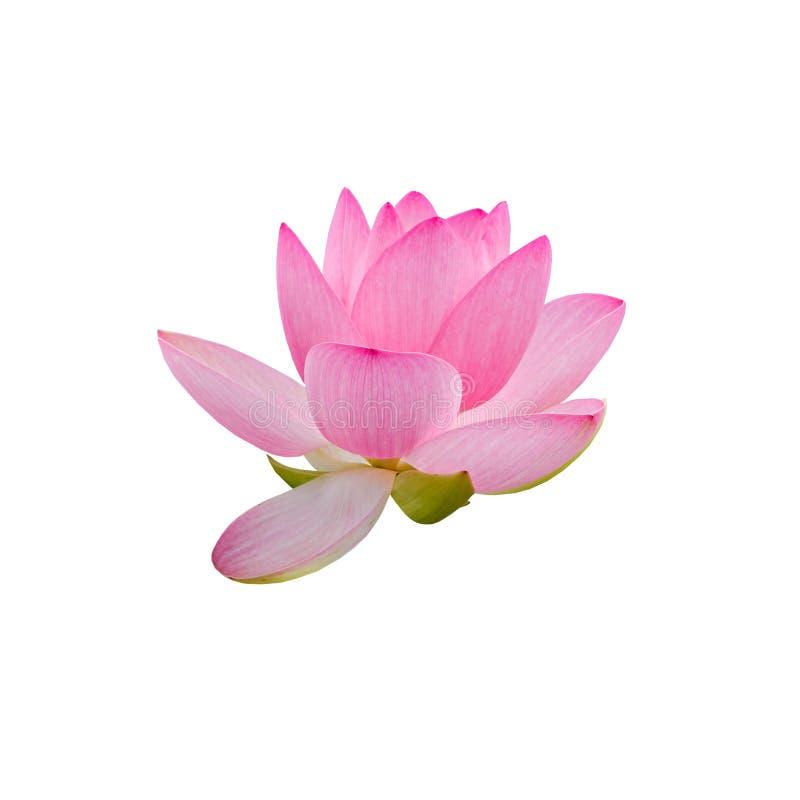 桃红色黄睡莲花,水百合,池塘百合,睡莲,莲属nucifera,亦称印地安莲花,莲 免版税图库摄影