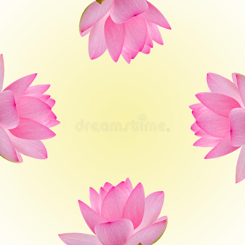 桃红色黄睡莲花,水百合,池塘百合,睡莲,莲属nucifera,亦称印地安莲花,莲 免版税库存照片