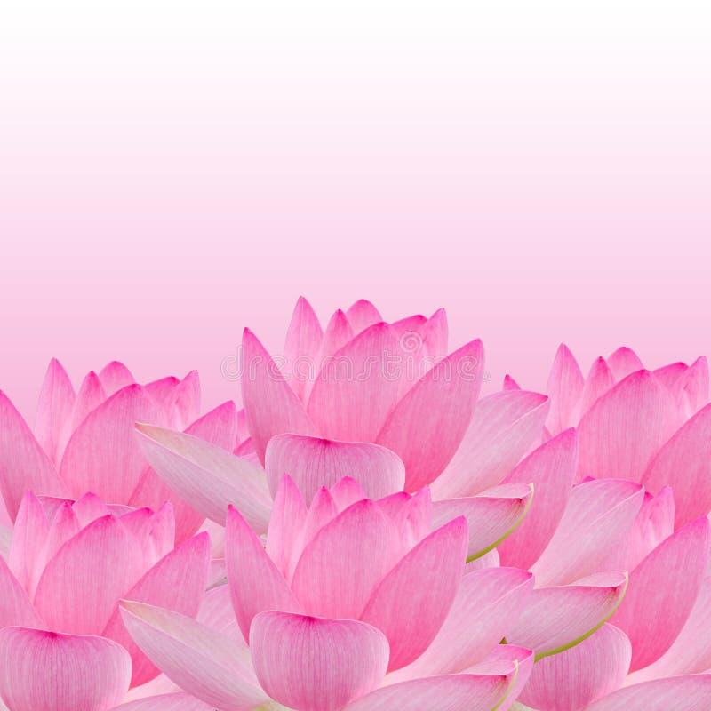 桃红色黄睡莲花,水百合,池塘百合,睡莲,莲属nucifera,亦称印地安莲花,莲 库存照片