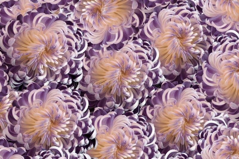 桃红色紫罗兰色花菊花 特写镜头;花卉拼贴画 五颜六色开花构成 库存例证