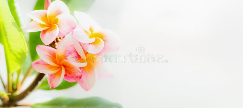 桃红色黄色热带赤素馨花在轻的自然背景开花 免版税图库摄影