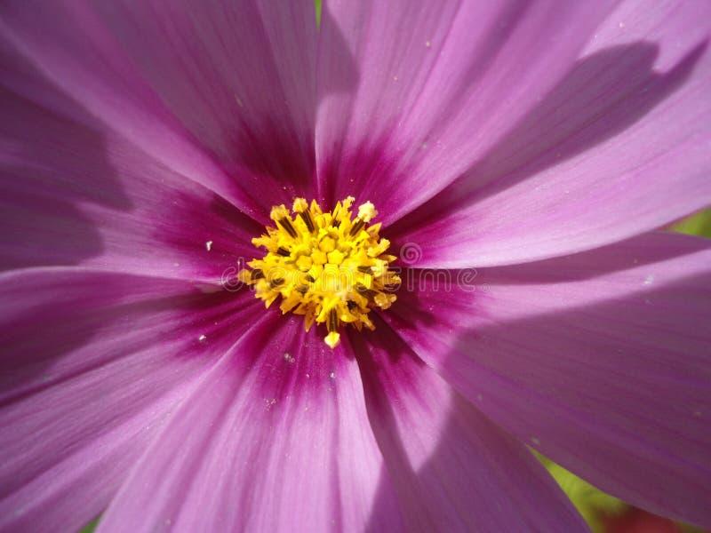 桃红色紫色花 库存图片