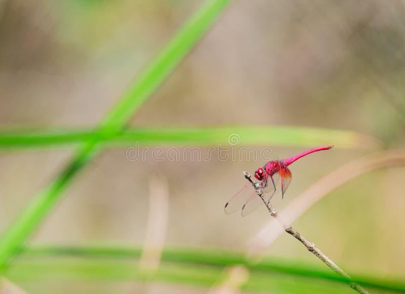 桃红色蜻蜓的边 免版税库存图片