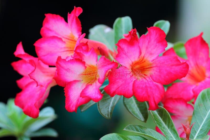 桃红色Adenium Obesum 免版税图库摄影