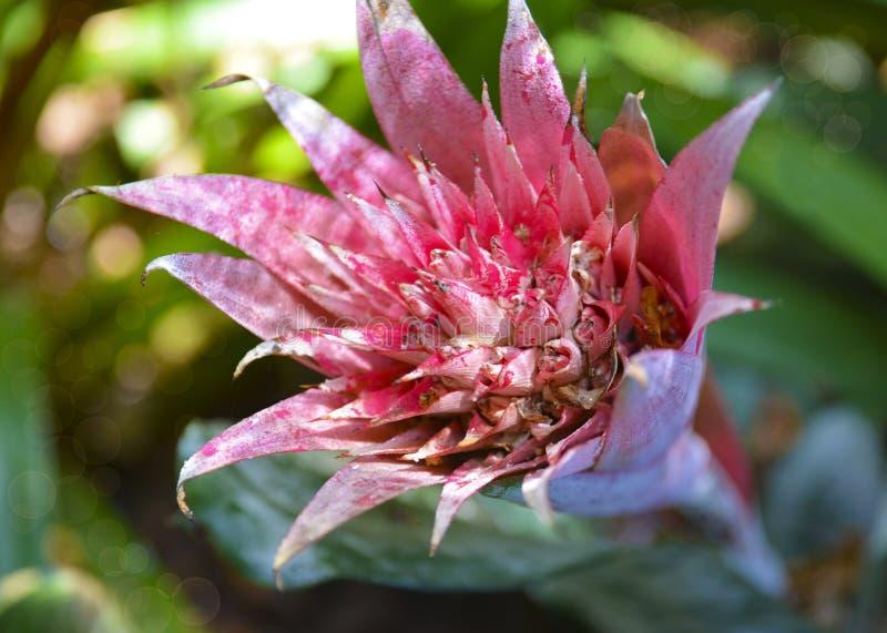 桃红色Aechmea fasciata花在一个热带庭院里 Bromeliad家庭银色花瓶或缸植物  免版税图库摄影