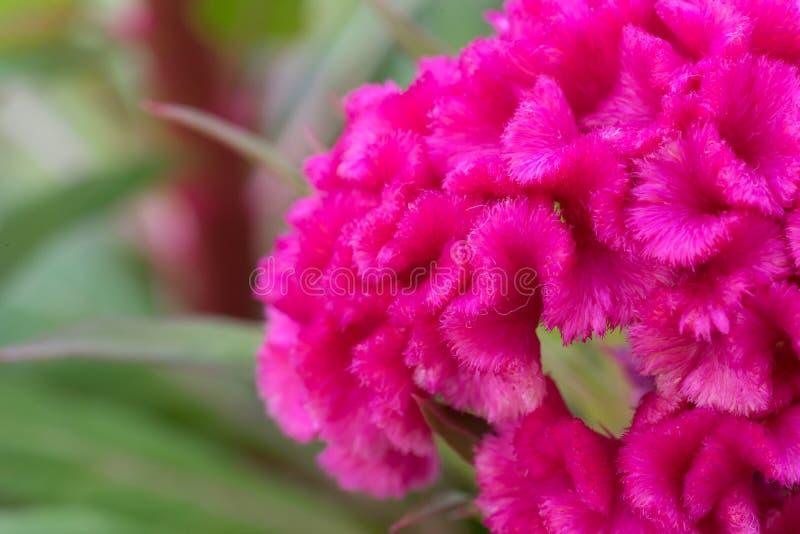 桃红色cockscomb花 图库摄影