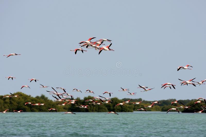 桃红色flamengos群  库存图片