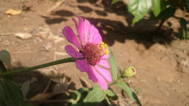 桃红色flowller的花 库存图片
