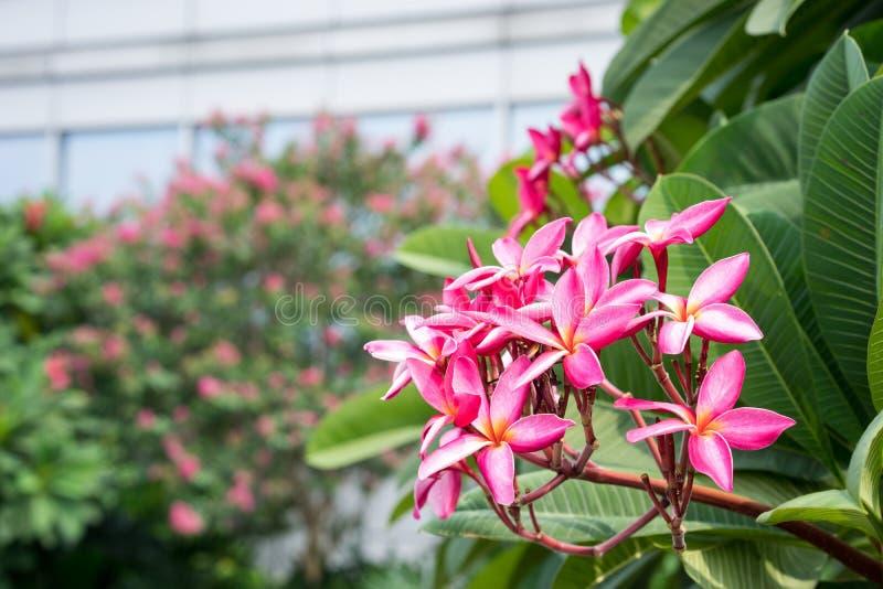 Download 桃红色frangipane花 库存照片. 图片 包括有 粉红色, 工厂, 公园, 叶子, 夏天, 结构树 - 59111008