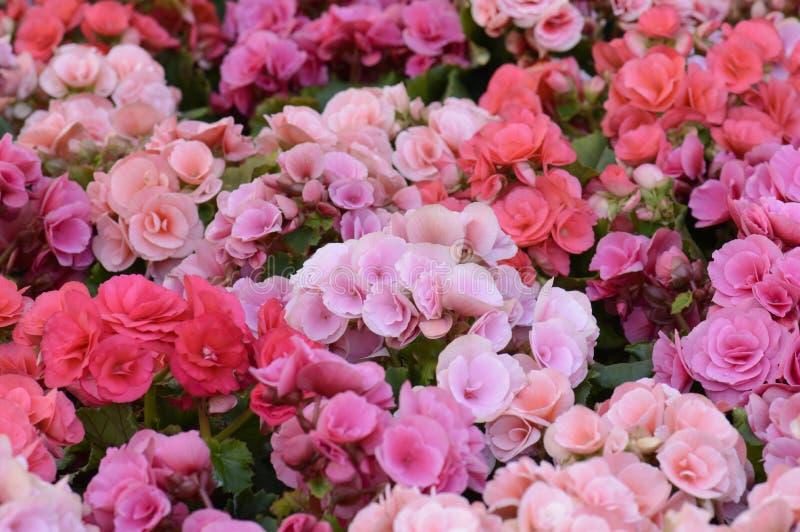 桃红色Kalanchoe blossfeldiana -发火焰浅田花 库存图片