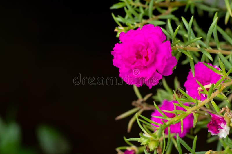 桃红色Portulaca oleracea绽放花 免版税图库摄影