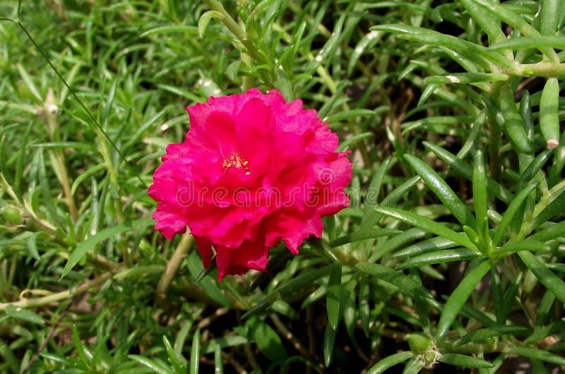 桃红色Portulaca oleracea花在自然庭院里 库存图片