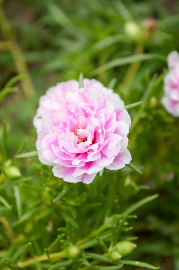 桃红色Portulaca oleracea花在自然庭院里 免版税库存照片
