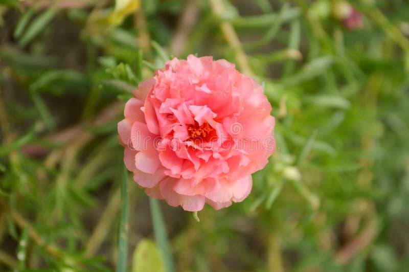 桃红色Portulaca oleracea花在自然庭院里 库存照片