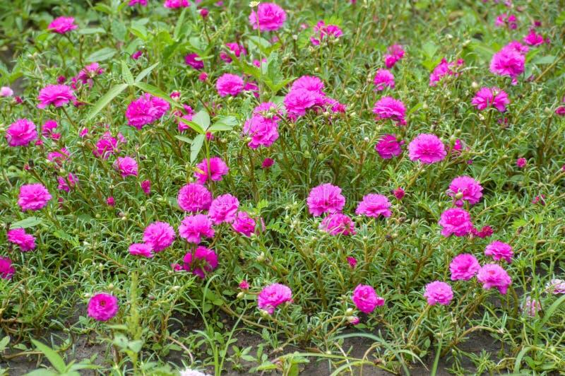 桃红色portulaca oleracea花在自然庭院里 图库摄影