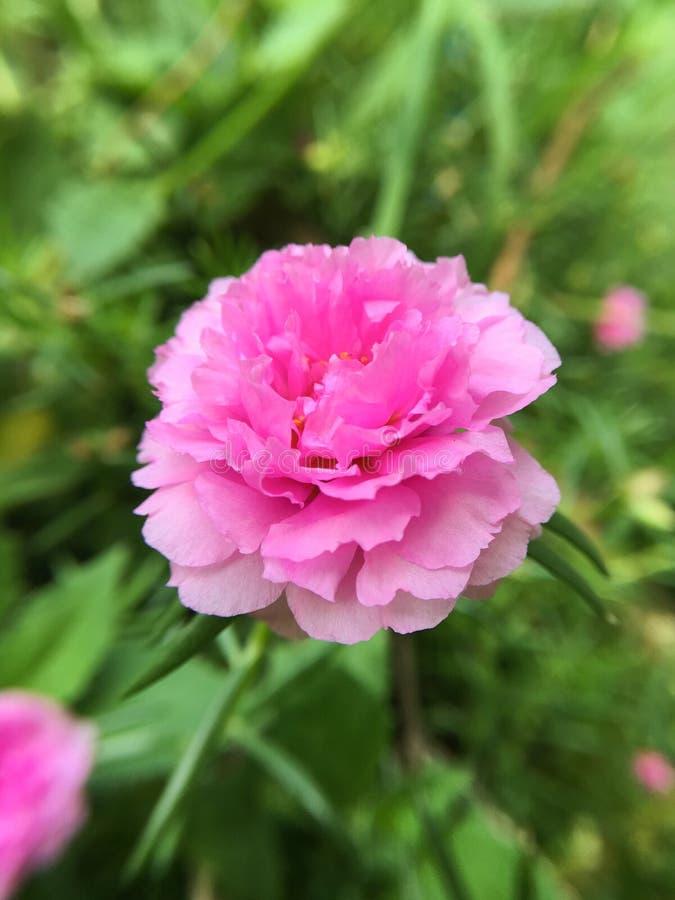 桃红色portulaca oleracea花 库存图片