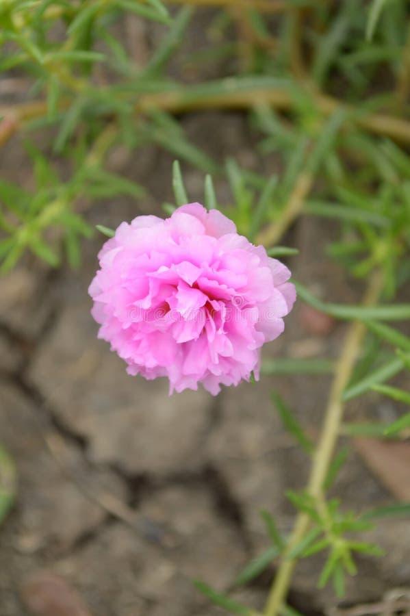 桃红色portulaca oleracea花 免版税库存图片