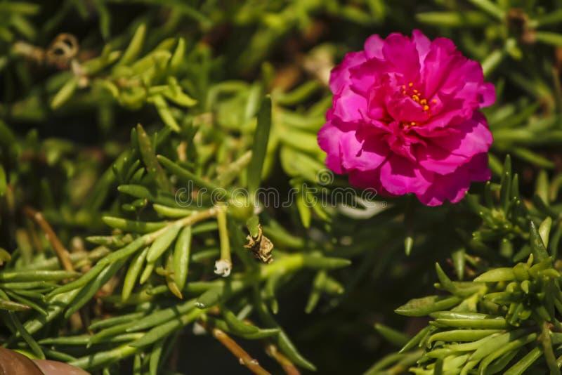 桃红色portulaca oleracea花 免版税库存照片