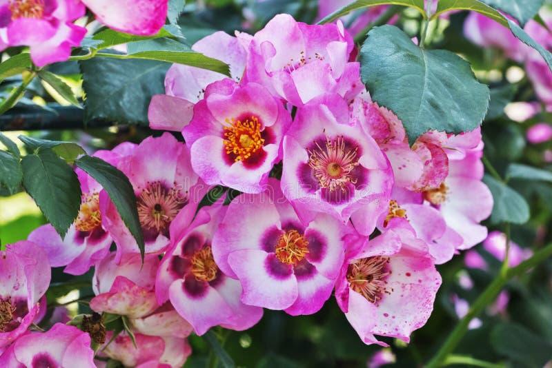 桃红色rosebush 免版税库存照片