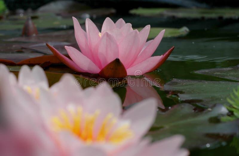 桃红色waterlillies 库存照片