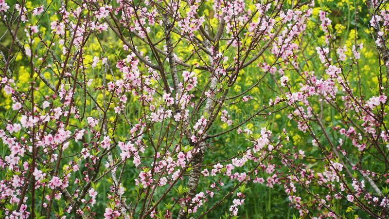 桃花开花的浅粉红色的背景是黄色花 免版税图库摄影