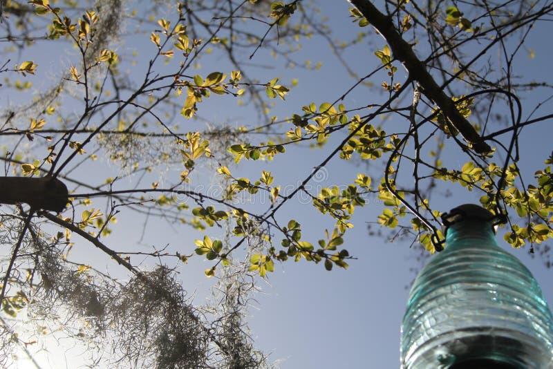 Download 绉绸桃金娘和太阳灯笼 库存照片. 图片 包括有 本质, 叶子, 灯笼, 太阳, 户外, 停止, 加州桂, 结构树 - 59102350