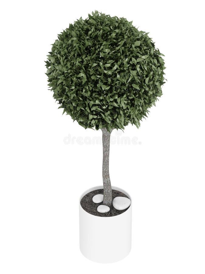 桃金娘属修剪的花园结构树 库存例证
