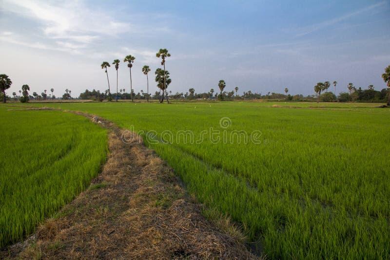 桄榔树和米在Phetchaburi调遣 免版税图库摄影