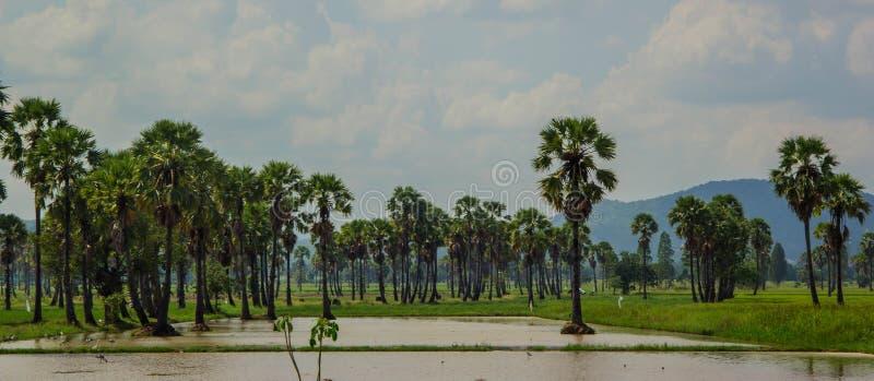 桄榔树和米领域 免版税库存照片