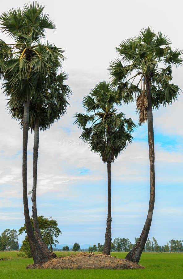 桄榔树或棕榈汁树在领域米有天空背景 库存图片