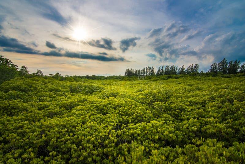 桐树橛皮带Rayong 免版税库存图片