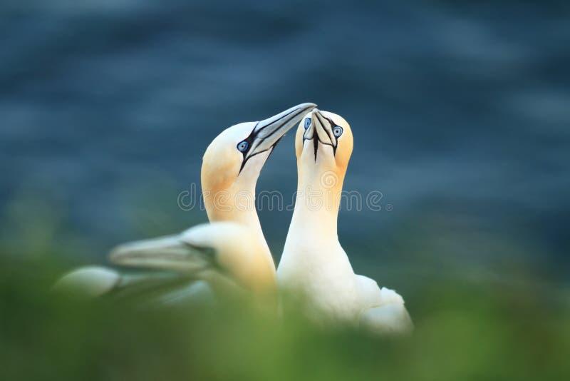 桑属bassanus Helgoland 拍摄在北海 Helgoland 库存图片