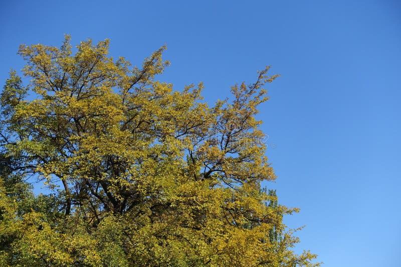 桑树冠反对天空蔚蓝的在10月 免版税库存图片