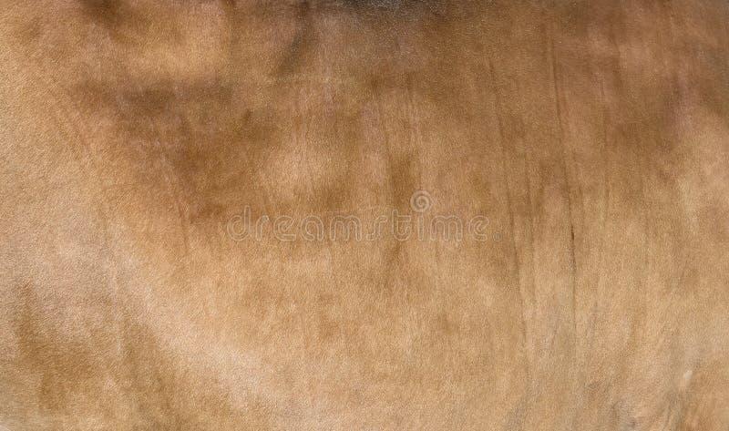 桑迪或浅褐色的头发母牛皮肤-真正的真正自然毛皮,文本的自由空间 o 一件棕色母牛外套的纹理 免版税库存图片
