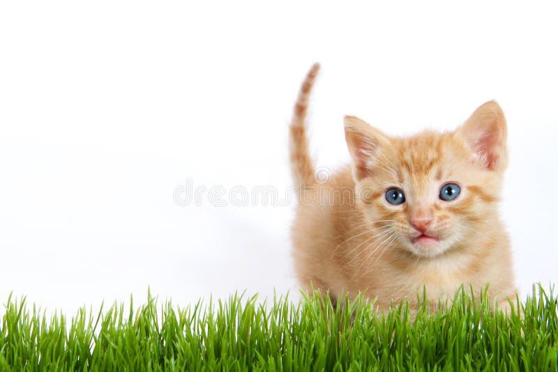 桔子剥离了看在绿草机智的蓬松模糊的小猫 库存图片