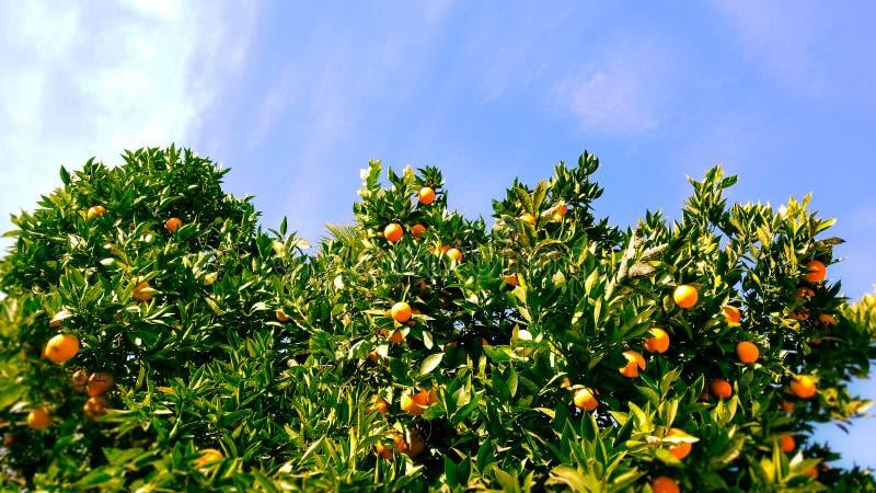 桔子和天空 库存照片