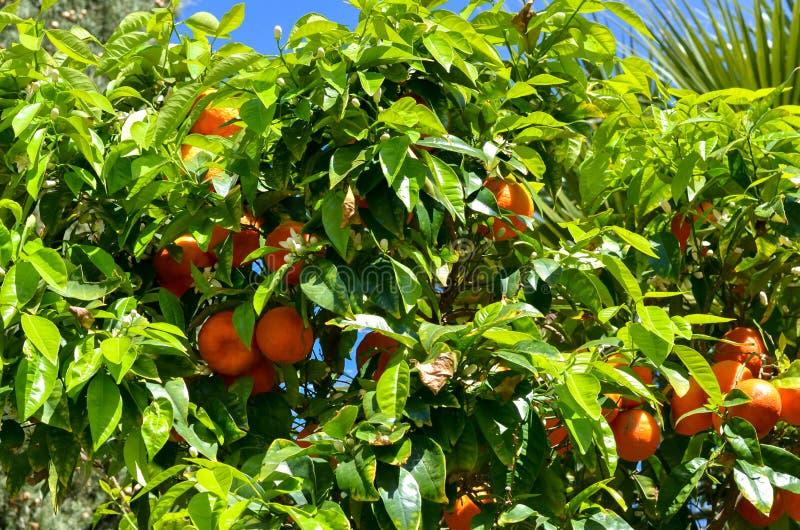桔子在树成熟了反对天空蔚蓝 库存照片