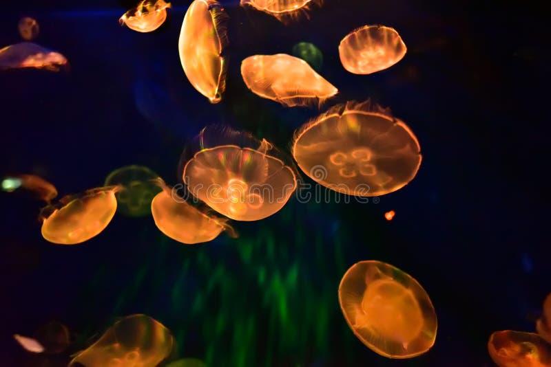 桔子在自然环境,水中里照亮了水母 库存照片