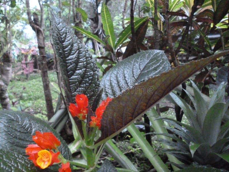 桔子开花芽和他们的红色芳香 免版税库存图片