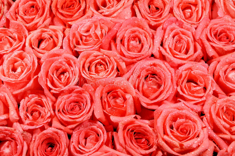 桔子玫瑰色样式 库存图片
