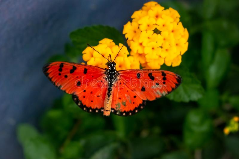 桔子被察觉的翼蝴蝶 免版税库存照片