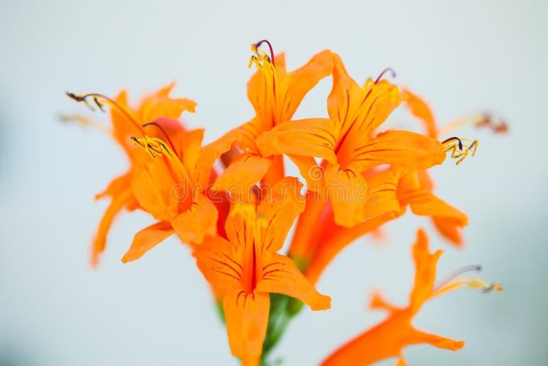 桔黄色花有白色背景 免版税库存图片