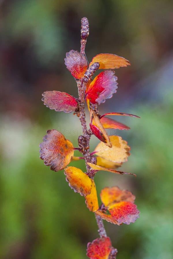 桦属纳纳,矮小的桦树,是桦树的种类在家庭桦科的,主要在北极的寒带草原发现了 免版税库存图片