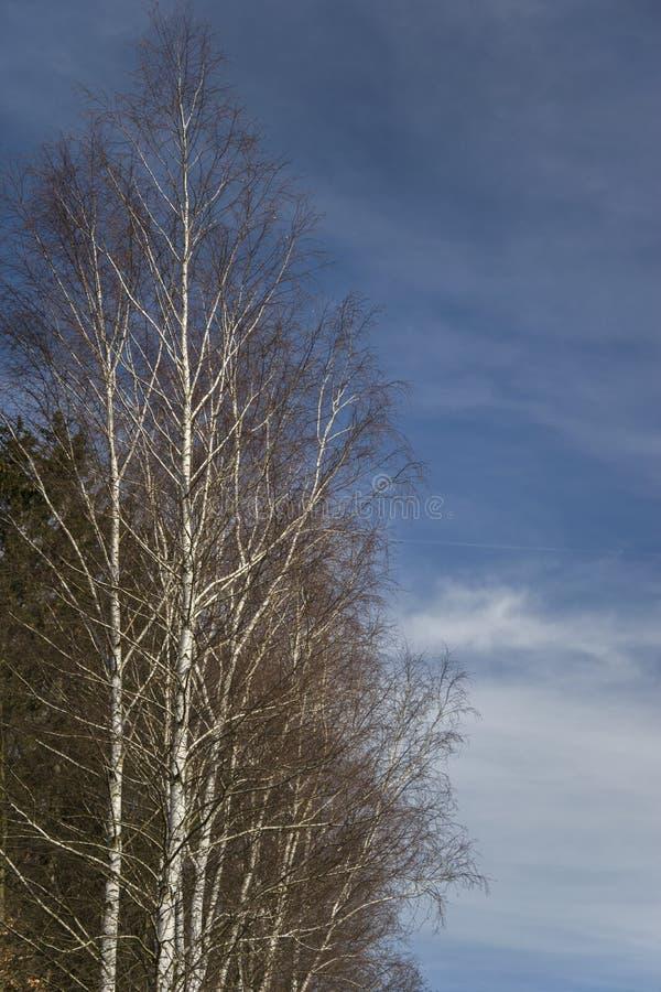 桦树上半方在天空蔚蓝背景的 免版税库存照片