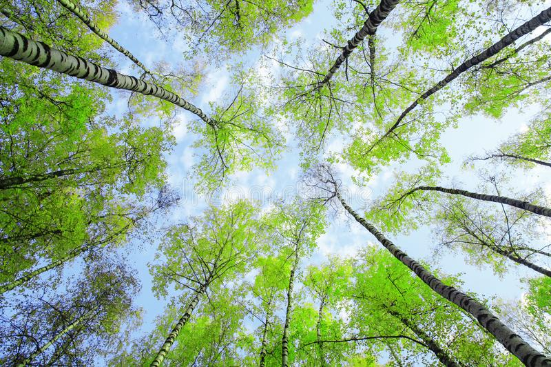 桦树上面的自然本底底视图舒展往与绿色多汁新鲜的叶子的天空蔚蓝在春天 库存图片