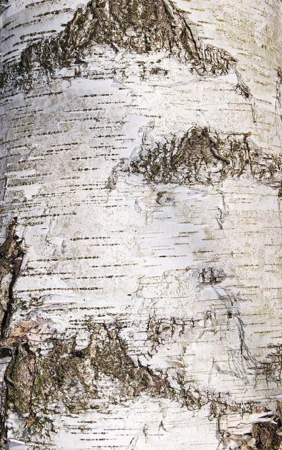 桦树关闭的树干 免版税库存图片