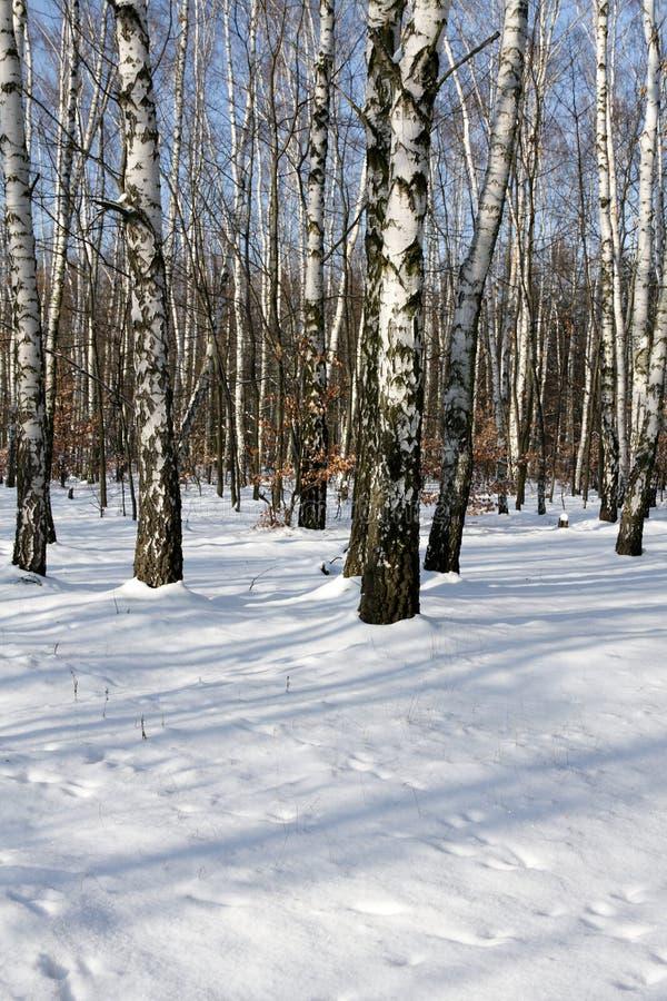 桦树冬天木头 图库摄影