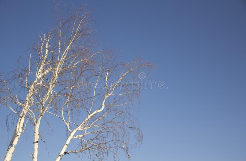 桦树冬天 免版税图库摄影