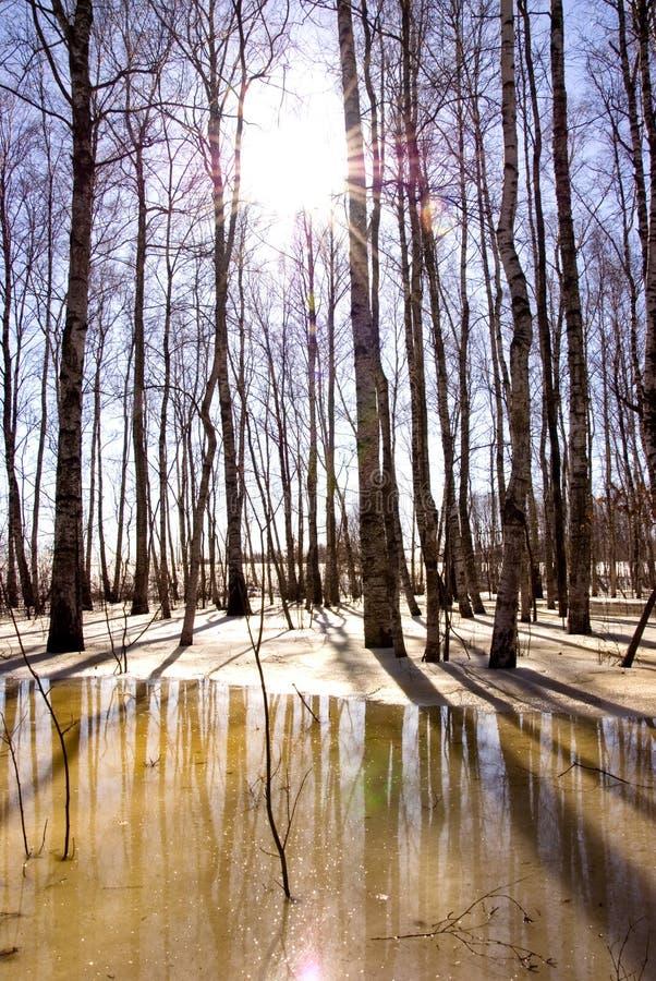桦树冰熔化的雪阳光树干 库存图片