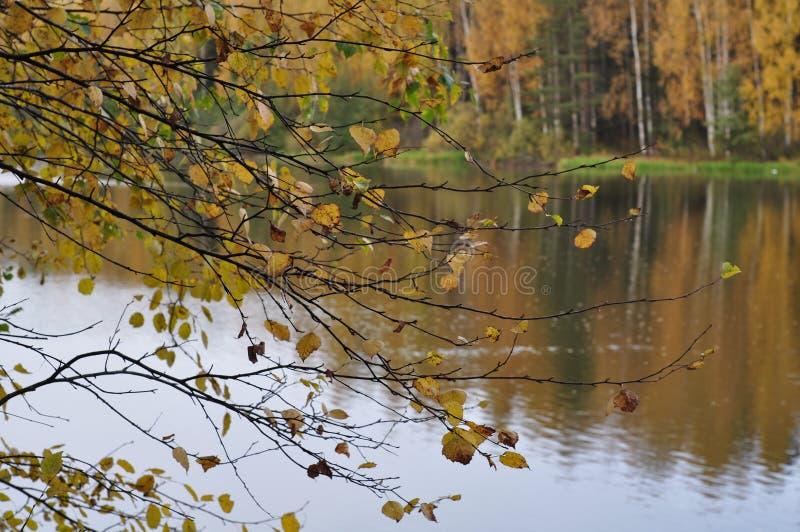 桦树分支与黄色叶子以河和秋天森林为背景 免版税图库摄影